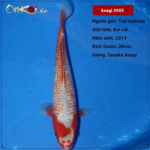 Koi Asagi 38cm 1 tuổi #005