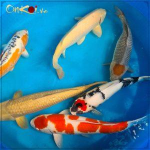 Lô cá 70- 80 cm từ Danichi 1