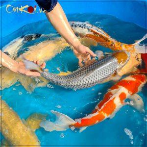 Lô cá 70- 80 cm từ Danichi 2