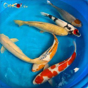 Lô cá 70- 80 cm từ Danichi 3