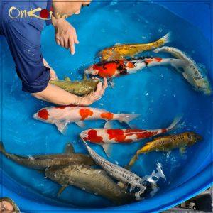 Lô cá Koi nhập từ trại Dainichi mới về 2