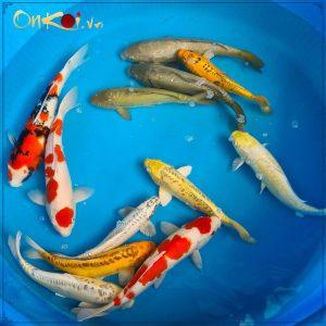 Lô cá Koi nhập từ trại Dainichi mới về 3
