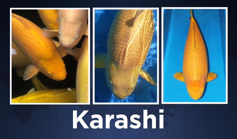 karashi 1