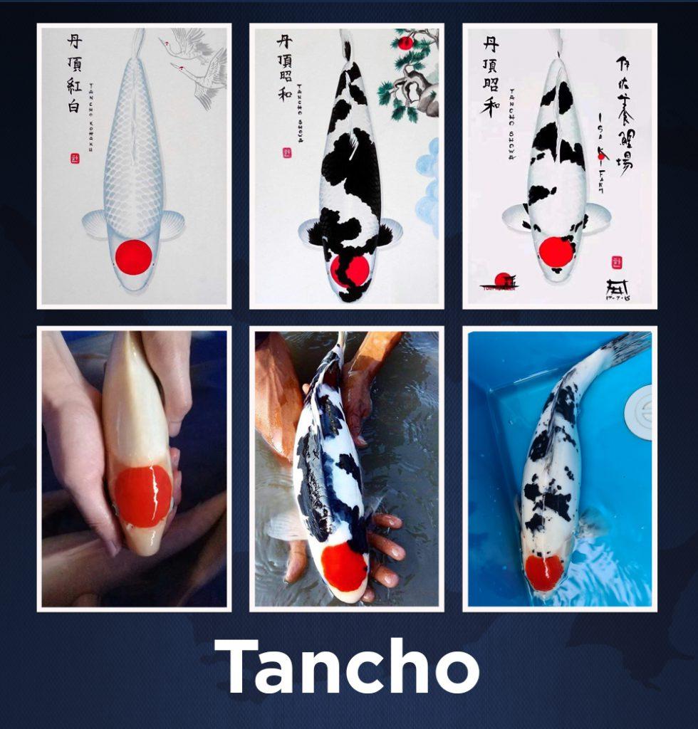 tancho 2