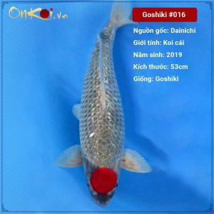 Onkoi Goshiki 53cm 2 tuổi #016