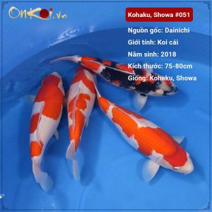 Lô koi showa, Kohaku 75 – 80cm 3 tuổi #051