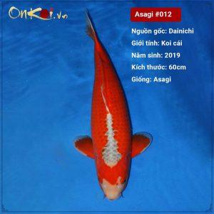 Onkoi Asagi 60cm 2 tuổi #012