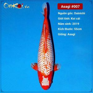 Onkoi Asagi 2 tuổi 55cm #007