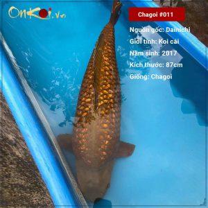 Onkoi Chagoi 87 cm 4 năm tuổi #011