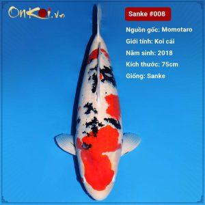 Onkoi Sanke 75 cm 3 năm tuổi #008