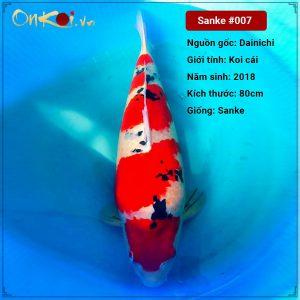 Onkoi Sanke 80 cm 3 năm tuổi #007