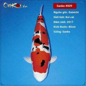 Onkoi Sanke 85 cm 4 năm tuổi #009