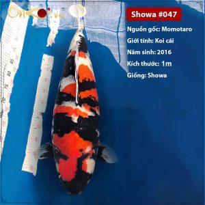 Onkoi Showa 90 cm 5 tuổi #047