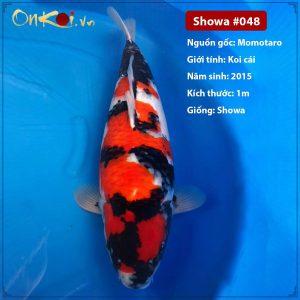 Onkoi Showa 100 cm 6 tuổi #048