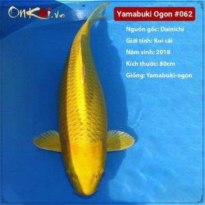 Yamabuki ogon 80 cm 3 tuổi #062