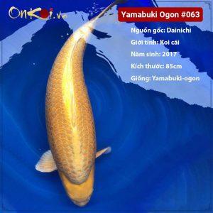 Yamabuki Ogon 4 tuổi 85cm #063